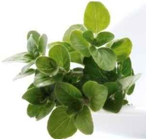 orégano planta